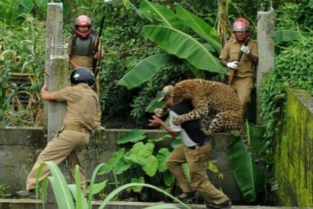 Процесс ловли разъяренного леопарда. Фото ©AFP