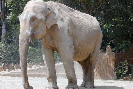 Индийский слон. Фото с сайта academic.ru