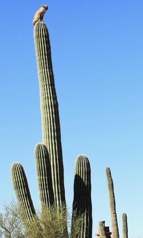 Рысь взобралась на гигантский кактус в пустыне Сонора в штате Аризона. Фото с сайта dailymail.co.uk