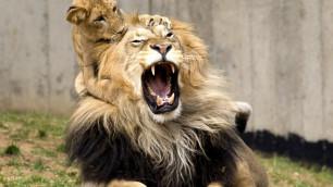 Кандидат на бой с Головкиным купил себе львенка