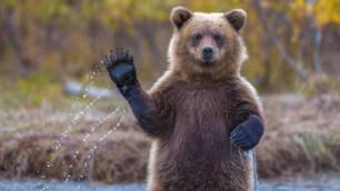 В Англии футбольных болельщиков предупредили о риске нападения медведей во время ЧМ-2018 в России