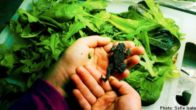 Шведка нашла живую жабу в запечатанной упаковке салата