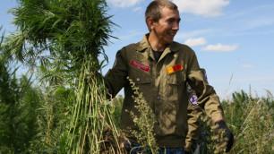 Россия задумалась о выращивании ненаркотической конопли