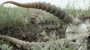 Россия и Казахстан объявят совместную охрану сайгаков