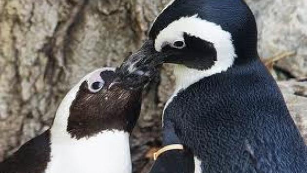 Зоопарк Торонто разлучит пингвинов-геев
