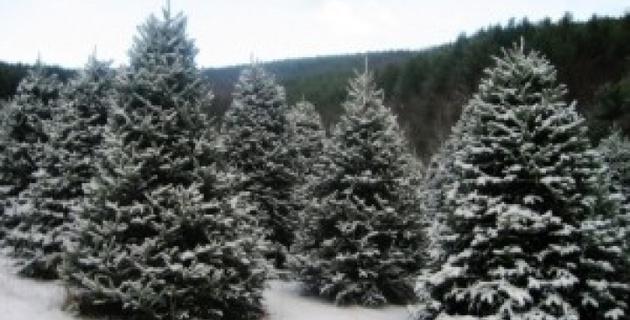 США столкнулись с нехваткой рождественских елок