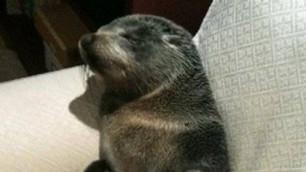 В дом к новозеландке заполз детеныш тюленя