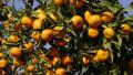 Абхазия сократила поставки мандаринов в Россию