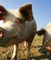 Пенсионеры применили свиной навоз против пьянствующей в лесу молодежи