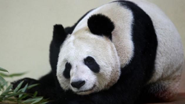 """Панда попала в список самых популярных лиц года по версии """"Би-би-си"""""""