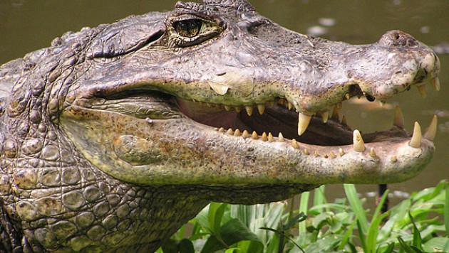 Из британского зоомогазина украли карликового крокодила и 50 змей
