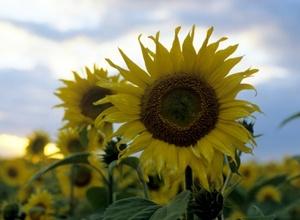 Казахстанский фермер выращивал коноплю под видом подсолнухов