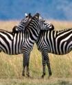 Ученые решили загадку полосатости зебр