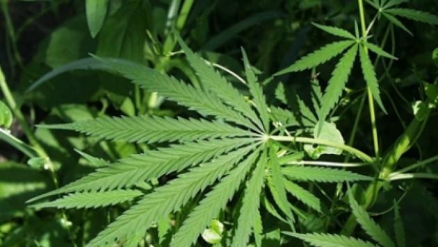 Под Челябинском задержали две машины с 72 килограммами марихуаны