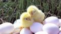 На Шри-Ланке курица родила цыпленка