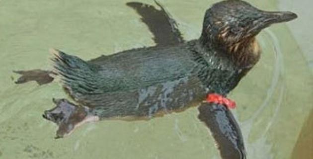 Похитителям пингвина из австралийского парка вынесли приговор
